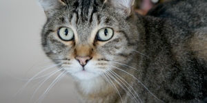 Periodontal Disease in Cats #DentalPetFacts