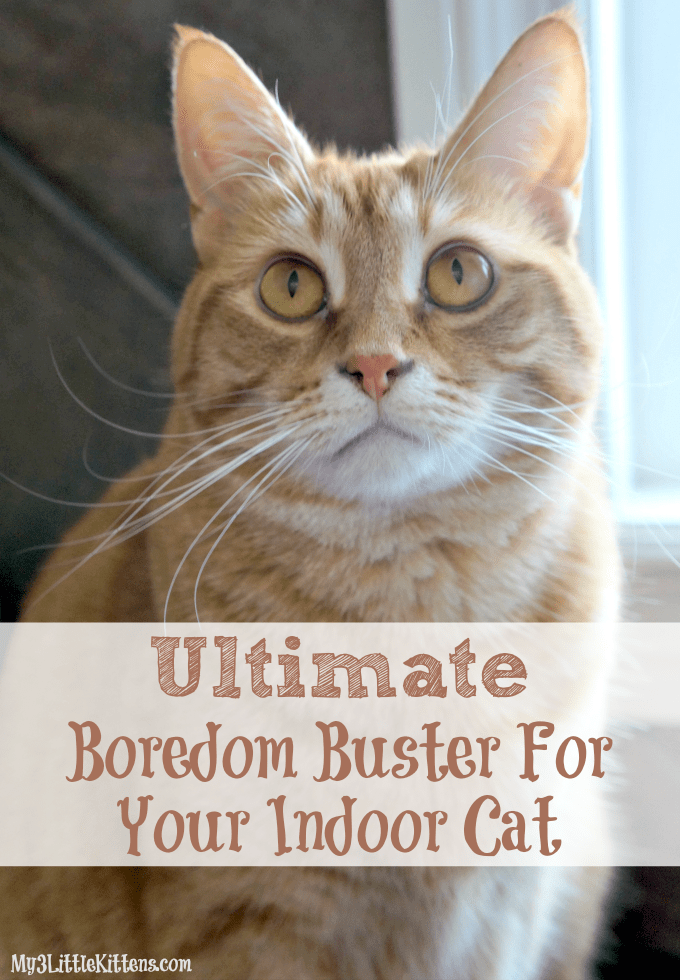 Ultimate boredom buster for your indoor cat my 3 little for Having an indoor cat