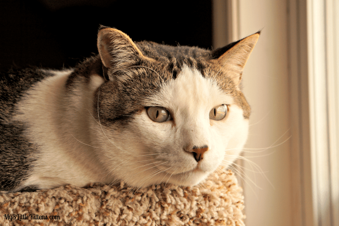 All About Cat Dandruff. It is more common than most cat owners know!