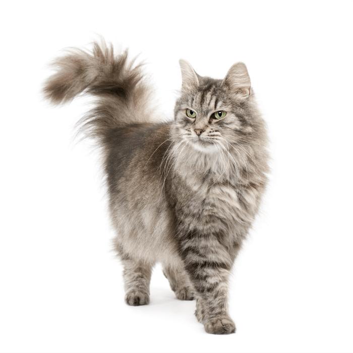 Understanding Different Cat Breeds - My 3 Little Kittens