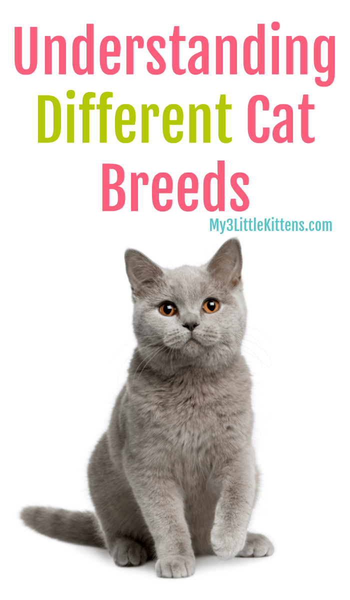Understanding Different Cat Breeds My 3 Little Kittens